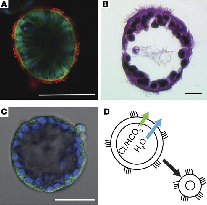 Nasospheroids are highly differentiated, hollow spheres with the cilia o...