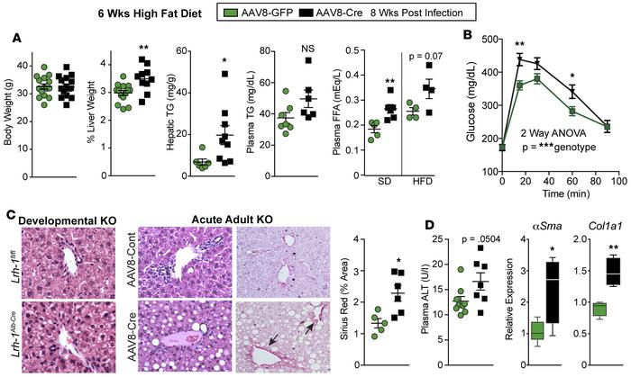 Lrh-1AAV8-Cre mice exhibit hepatic steatosis and liver injury after die...