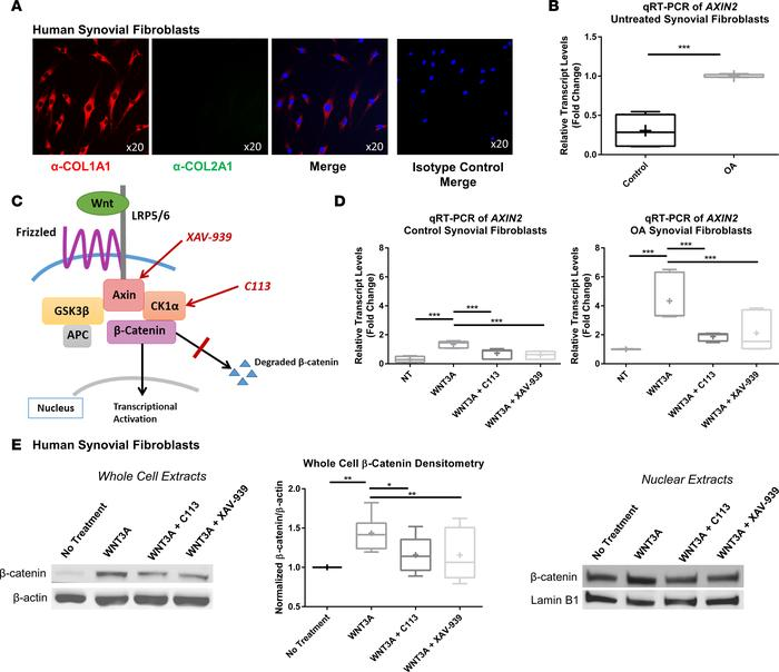 Synovial fibroblasts are responsive to Wnt inhibition treatment. (A) Syn...