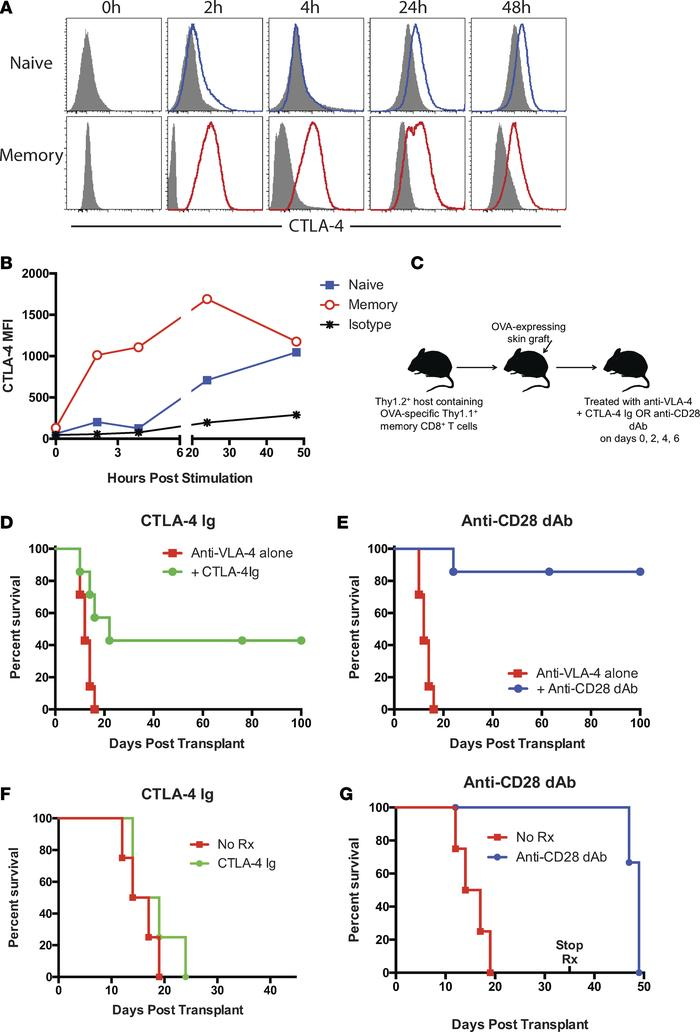 Selective CD28 blockade more potently attenuates memory T cell–mediated ...