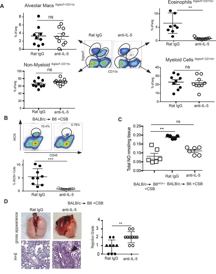 Eosinophil depletion eliminates NO production and potentiates a CSB-resi...