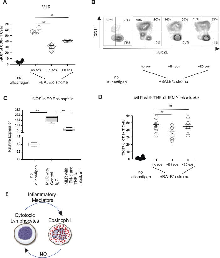 Modulation of CD8+ T cell proliferation and differentiation by E1-polari...
