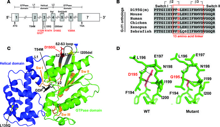 Structural characterization of the Asp195Gly Gα11 mutation. (A) Genomic ...