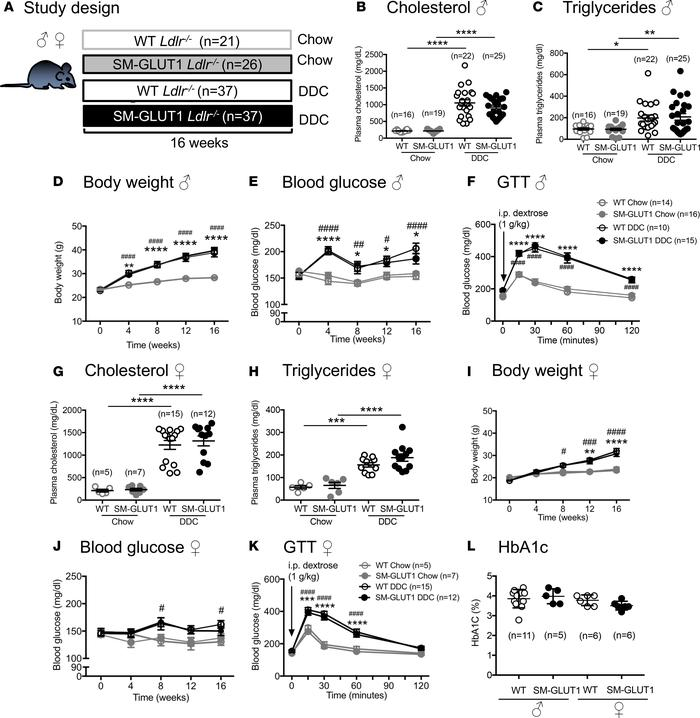 DDC feeding in male and female Ldlr–/– mice results in dyslipidemia and ...