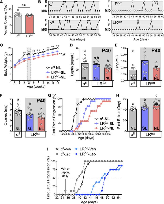 Leptin supplementation does not restore pubertal timing in LRΔα mice. (A...
