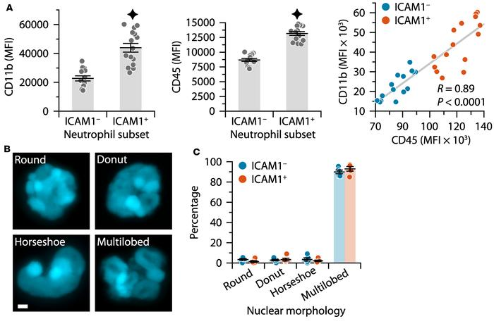 Further characterization of ICAM1+ and ICAM– spinal cord neutrophil popu...