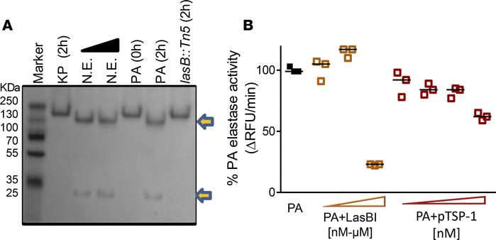 TSP-1 is cleaved by Pseudomonas aeruginosa (PA) into 2 fragments but TSP...