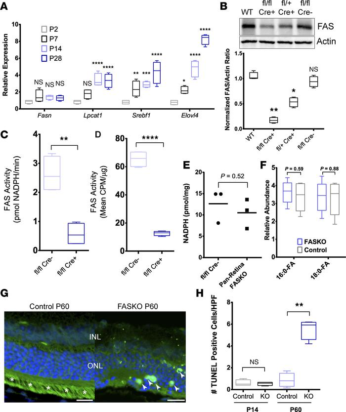 Disruption of FAS activity in the neural retina of FASKO mice. (A) Retin...
