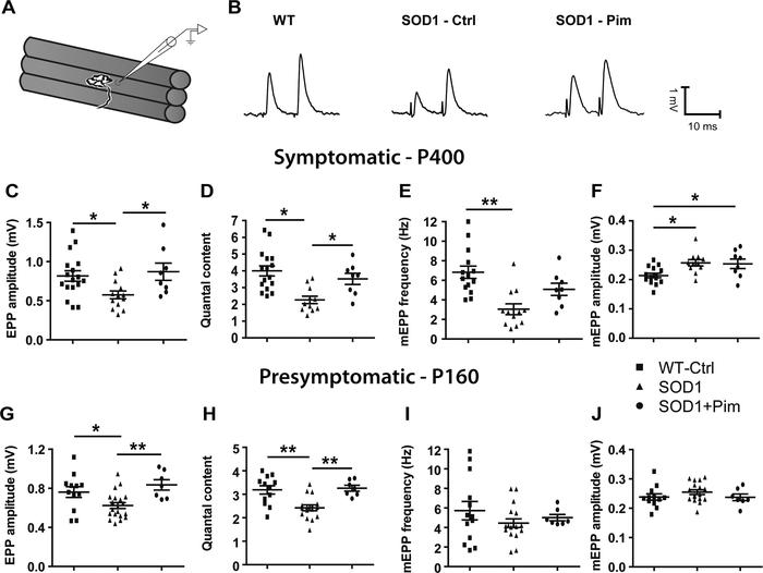 Pimozide rescues synaptic strength deficits in the SOD1G37R EDL at disea...