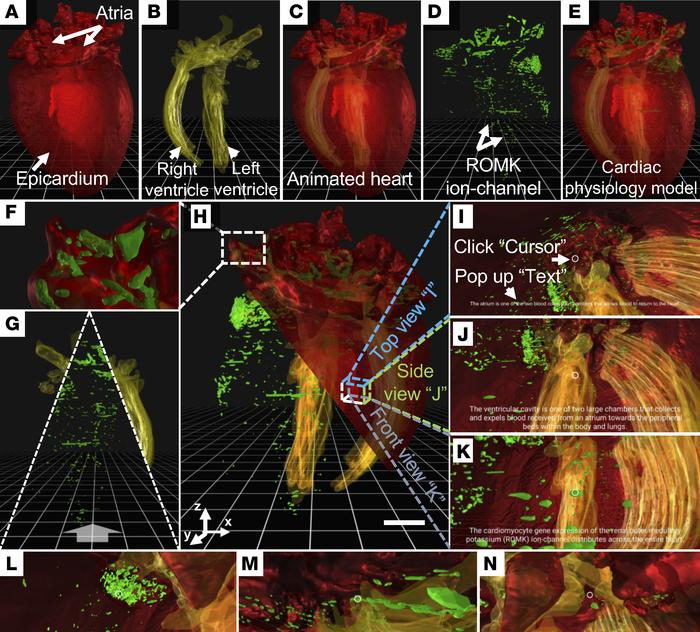 3D perception of the GFP-labeled ROMK channels in a representative adult...