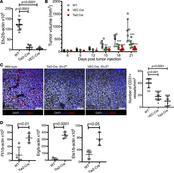 Endothelial Etv2 is required for tumor growth and angiogenesis. (A) qRT-...