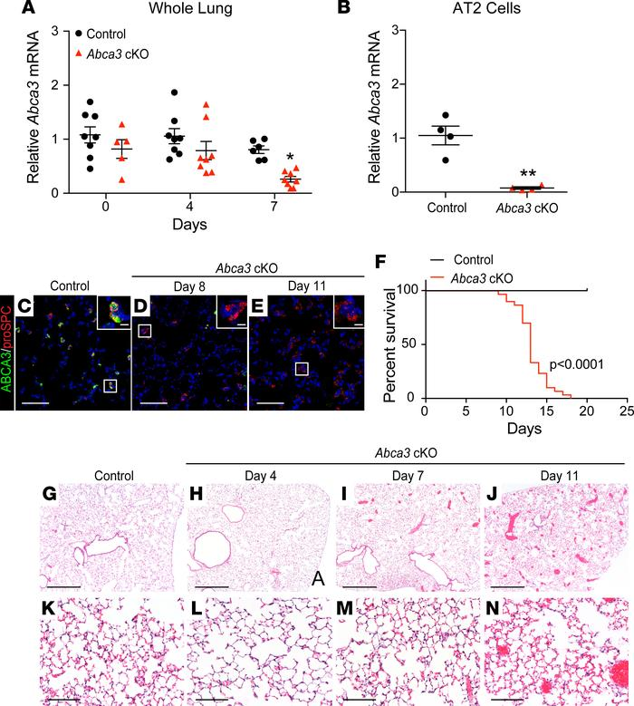 Deletion of Abca3 in AT2 cells causes respiratory failure. (A) Quantitat...