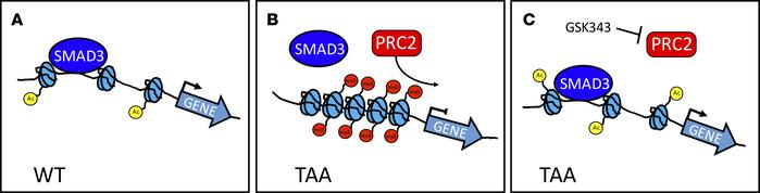 Schematic representation of epigenetic repression in TAA. (A) Contractil...
