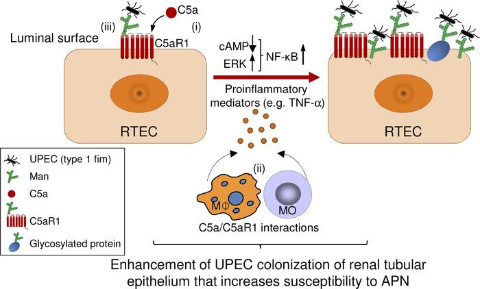 Proposed mechanisms by which C5aR1 enhances UPEC colonization of renal t...