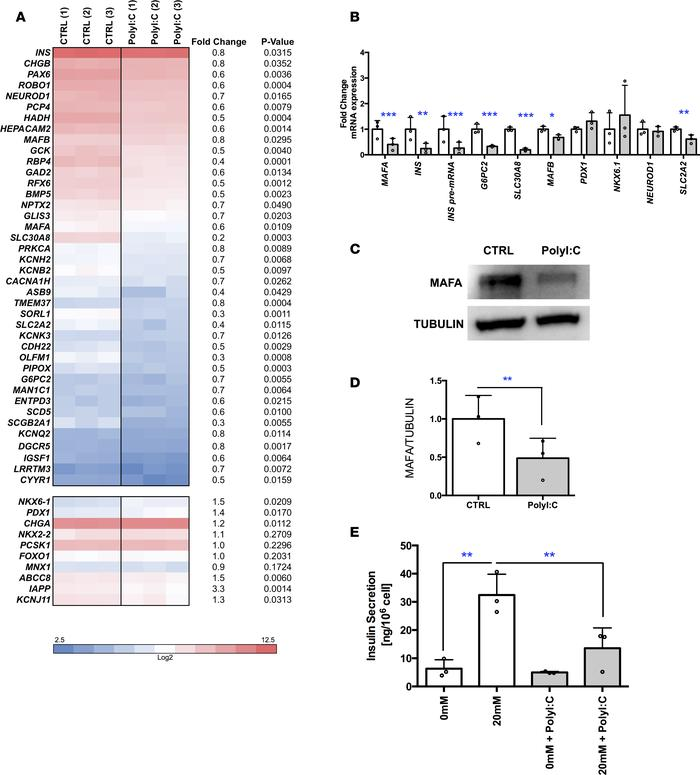Downregulation of human β cell identity in PolyI:C-transfected EndoC-βH1...