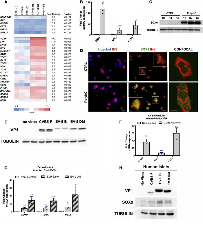 PolyI:C induces the expression of SOX9, HES1, and MYC in human β cells. ...