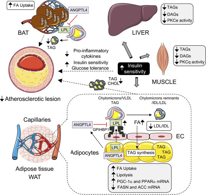 Jci Insight Absence Of Angptl4 In Adipose Tissue Improves Glucose