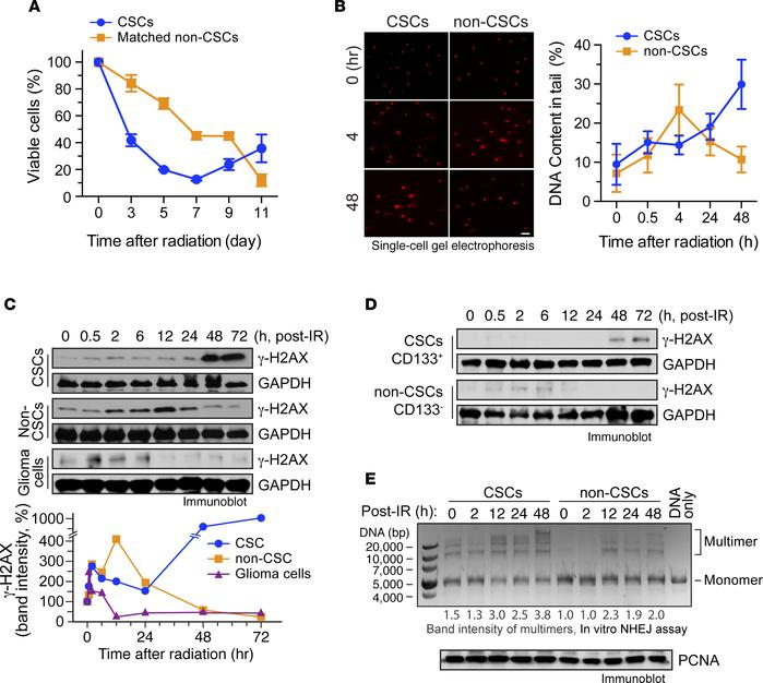 Time-dependent radioresistance is associated with increased DNA damage a...