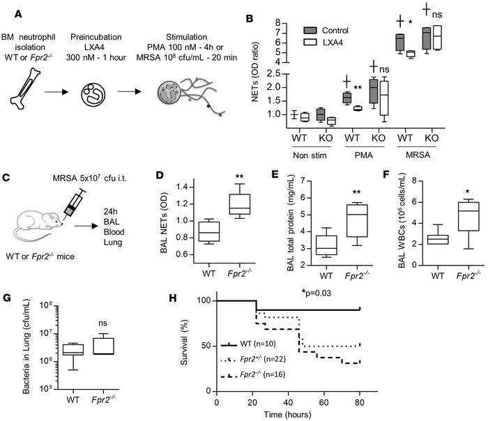 Lipoxin pathway regulates NET production. (A and B) Bone marrow neutroph...