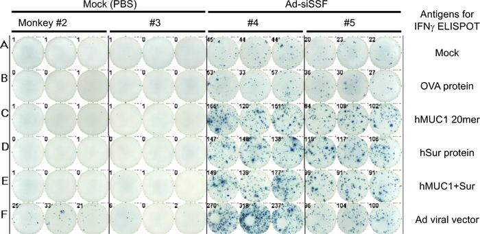 ELISpot assay of immune responses induced by a single injection of Ad-si...