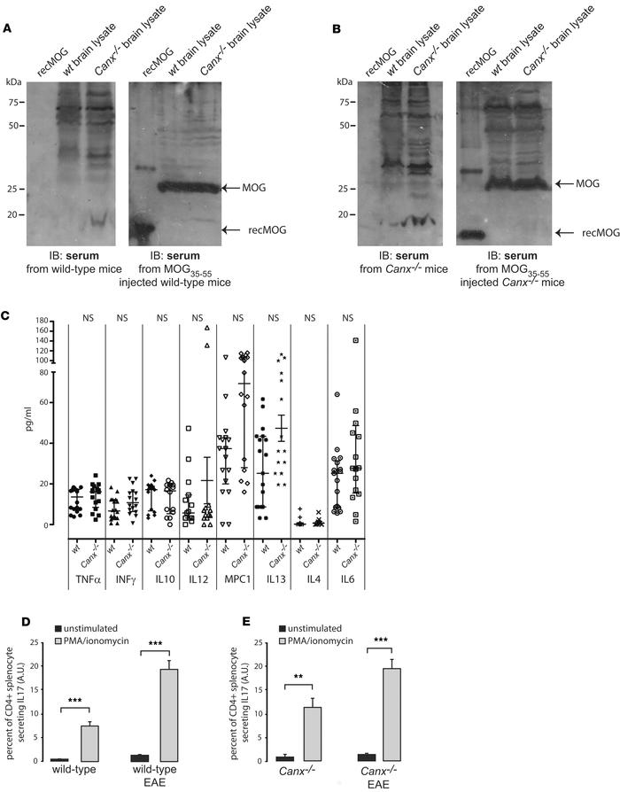 Peripheral immune response in WT and calnexin-deficient EAE mice. (A) Im...