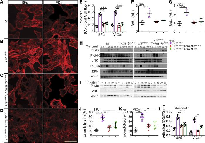 Tnfr2 regulates proinflammatory and proliferative gene expression in mes...