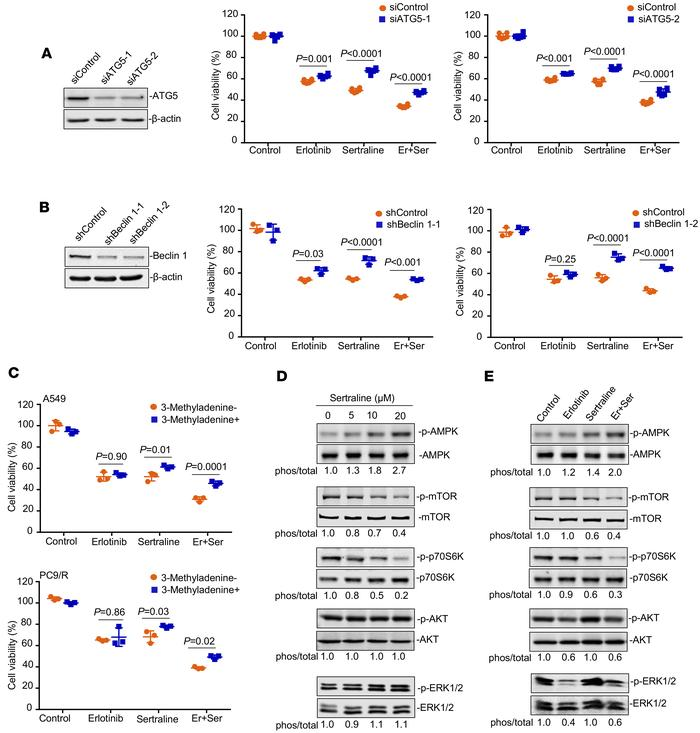 Sertraline alone and in combination with erlotinib induces autophagy thr...