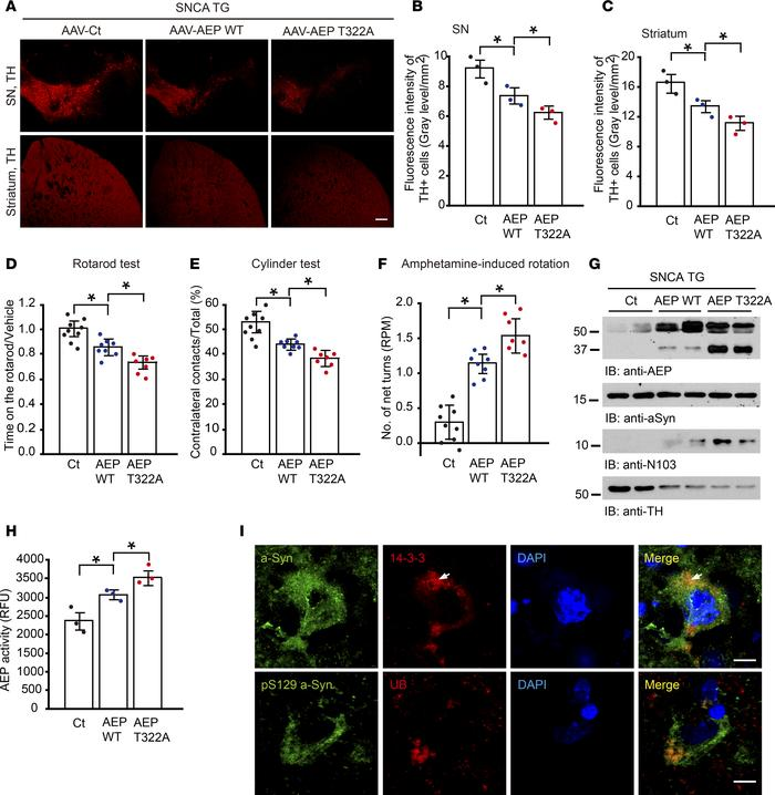 Unphosphorylated AEP T322A mutant facilitates α-synuclein pathologies an...