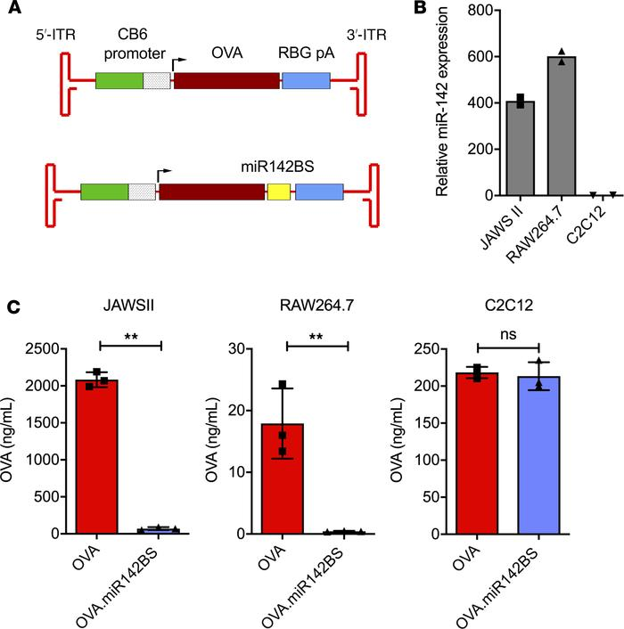 Incorporating miR142BSs into rAAV1 expression cassettes decreases transg...