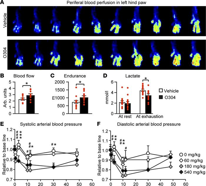 O304 improves microvascular blood flow and endurance in mice. (A and B) ...