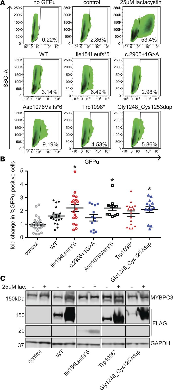 Expression of MYBPC3 mutants does not significantly affect ubiquitin-pro...