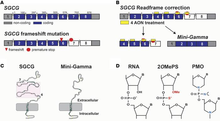 An exon-skipping strategy to treat LGMD 2C. (A) The SGCG gene, which enc...