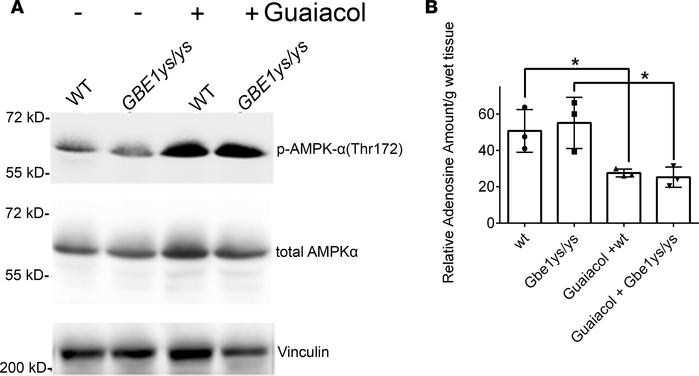 Guaiacol activates AMP kinases and decreases adenosine. Muscle extracts ...