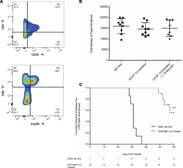 Delay in onset by CD19+IgM+ cotransfers is independent of Tregs. (A) Tre...